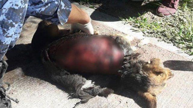 Encontraron a una perrita despellejada en Córdoba