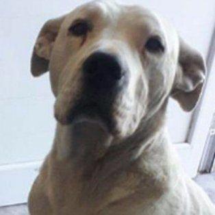 El peor ladrón del mundo: un perro roba en un almacén y después se entrega