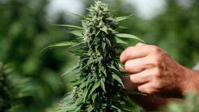 La Justicia autorizó por primera vez el cultivo domiciliario de cannabis medicinal