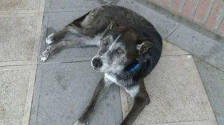 Willy, el perro callejero de Candioti Sur que busca una familia