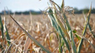 Los productores en emergencia agropecuaria por sequía ya pueden tramitar su certificado