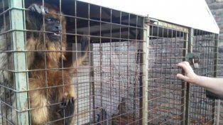 Secuestraron un mono carayá de una casa santafesina