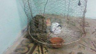 Rescataron un gato montés encerrado en el patio de una vivienda santafesina