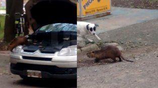 Encontró una nutria en su auto y necesitó ayuda para poder capturarla