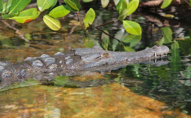 La provincia recibirá a 300 especialistas en cocodrilos de todo el mundo