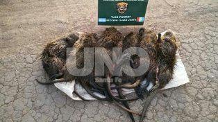 Secuestraron especies protegidas cazadas por un depredador