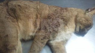 Rescataron a puma herido con disparos en la cabeza