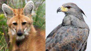 El aguará guazú y el águila coronada serán incluidos en el Plan Nacional de Extinción Cero
