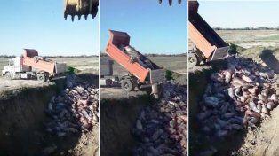 VIDEO: así tiraron 400 cerdos que se asfixiaron en un criadero del norte provincial