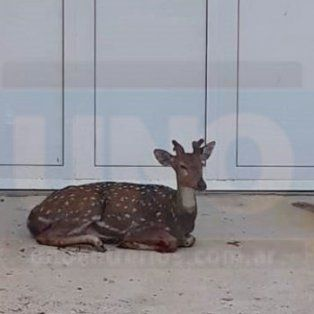 Encontró un ciervo herido en la puerta de su casa
