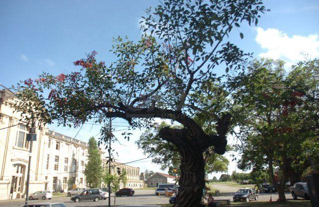 El ceibo, el árbol de nuestra flor nacional