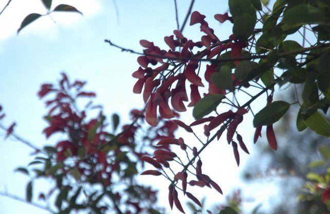 La flor del ceibo, flor nacional desde 1942.