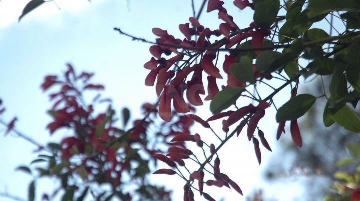 La flor del ceibo