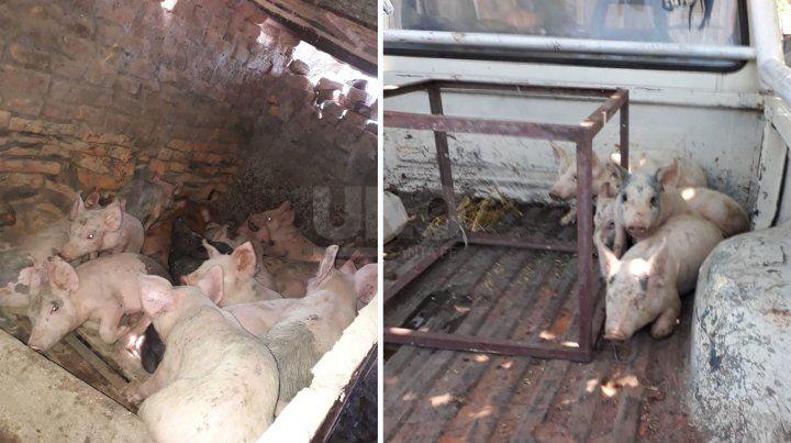 Los animales que fueron robados en el establecimiento rural