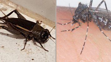advierten sobre invasion de grillos y de mosquitos gigantes