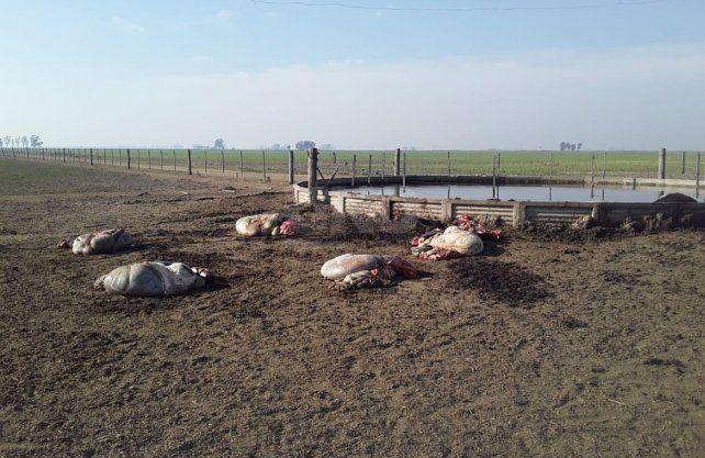 Las vacas faenadas en medio del potrero.
