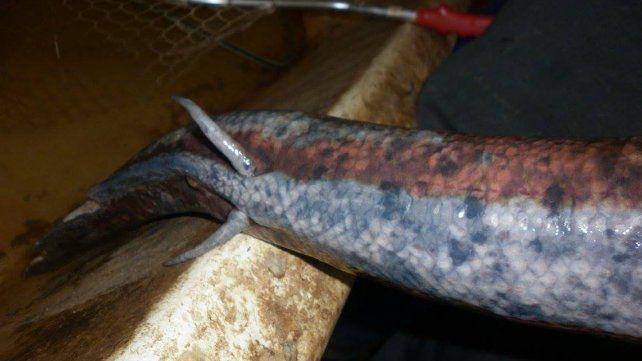 Pescaron una especie con dientes humanos en Diamante