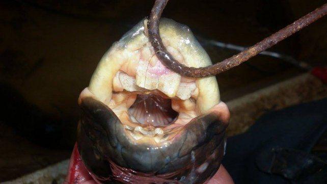 El pescado tiene dientes parecidos a los humanos.