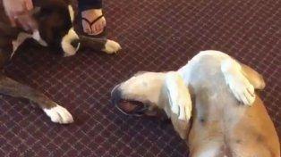 Un perro se sintió preocupado cuando su amigo simuló que estaba muerto