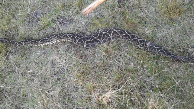 Entre Ríos: hallaron una yarará de casi dos metros en una chacra